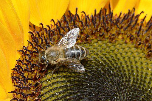 Bee, Insect, Close, Blossom, Bloom, Nature, Pollen