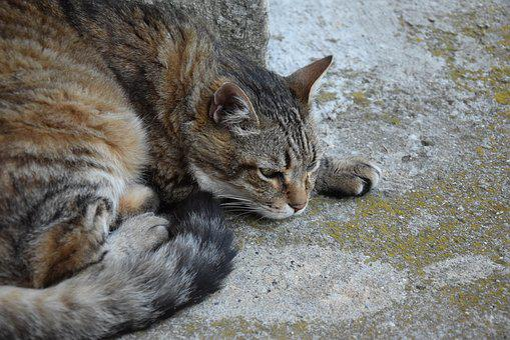 Cat, Animal, Domestic Animal, Cat Lying, Tabby Cat