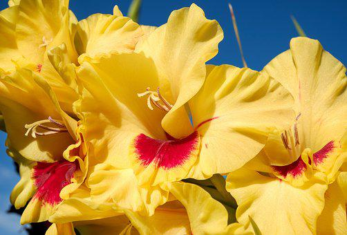 Gladiolus, Flower, Blossom, Bloom, Flowers, Colorful