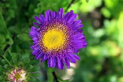 Aster, Flower, Garden, Nature, Plant, Flowering