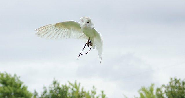 Owls, Bird, Animal, Wildlife, Feather, Color, Flying