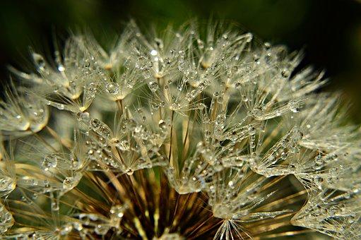 Dandelion, Dew, Morning Mist, Frosty, Plant