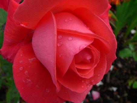 Flower, Rose, Red, Love, Plant, Bloom, Garden, Blossom