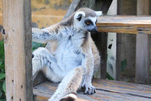 Lemur, Lemurs, Pet, Animal, Animals, Exotic Animal, Zoo