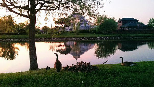 Belle Isle, Pond, Nature, Reflection, Canadian Geese