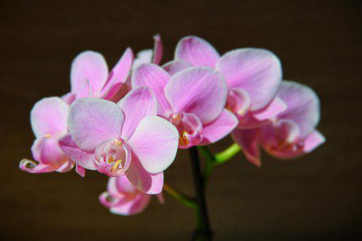 Orchid, Pink, Dragon'S Mouth, Orchids