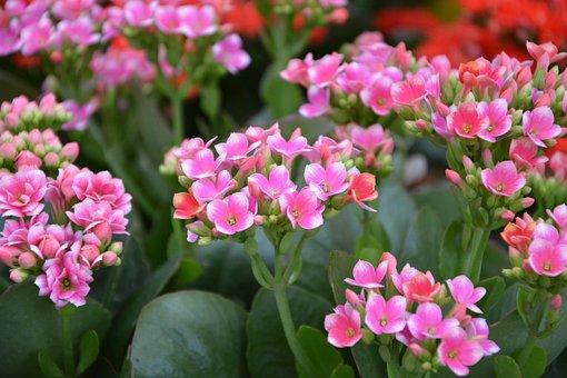 Flowers, Pink Flower, Kalancloé, Summer Flowers, Garden