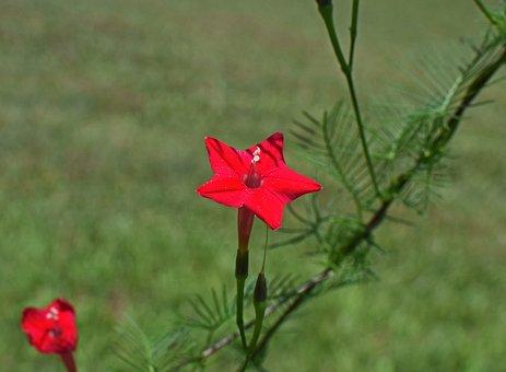 Red Cyprus Vine, Flower, Bud, Blossom, Bloom, Plant