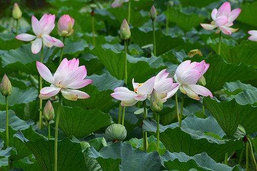 Flowers, Lotus, Pond, Lotus Flower, Nature, Plant
