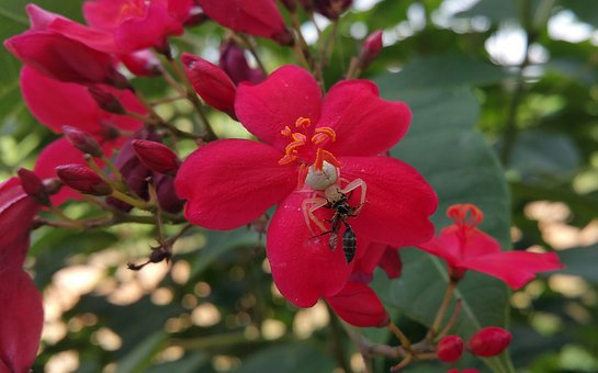 Spider, Bee, Fight, Insects, Flower, Red Flowers