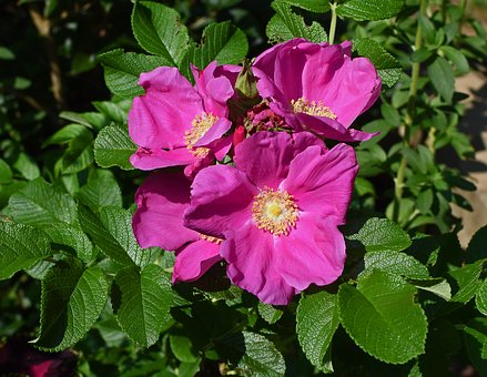 Rose, Rugosa Rose With Buds, Bud, Flower, Blossom