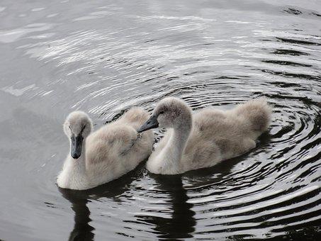 Twins, Swan Chicks, Fluffy