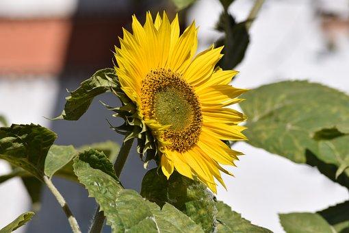 Sunflower, Flower, Yellow, Nature, Summer, Blossom, Sun
