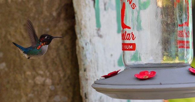 Cuba, Hummingbird, Feeder, Flying, Hovering, Eating