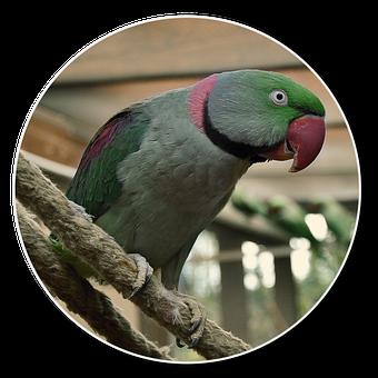 Alexander Parakeet, Png, Hahn, Bird, Small Parrot