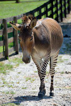 Zonkey, Animal, Mammal, Half Zebra, Half Donkey