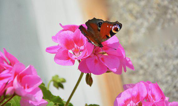 Butterfly, Ask, Forage, Pink Flowers, Summer, Nature