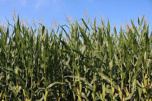 Fields, Corn, Agriculture, Cornfield, Harvest