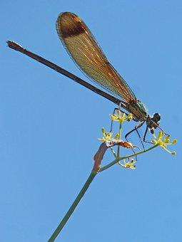 Dragonfly, Damselfly, Fennel, Sky