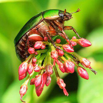 Bugs, Insect, Flower, Nature, Beetle, Wildlife
