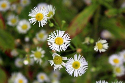 Flowers, Meadow, Nature, Beauty, Flowering