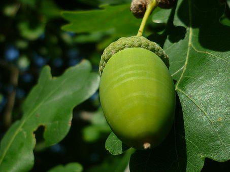 Acorn, Tree Fruit, Tree, Nature, German Oak
