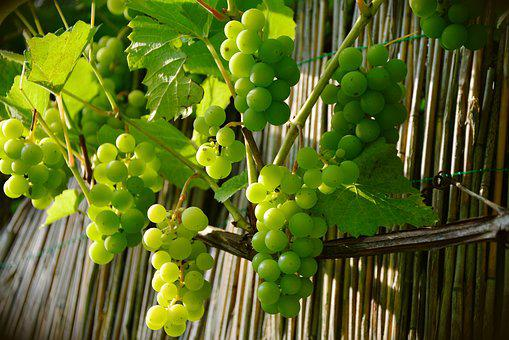 Grapes, Winegrowing, Green Grapes, Fruit, Grapevine