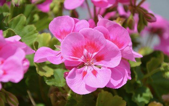 Flowers, Rose Geranium, Flowers Were, Green Leaves