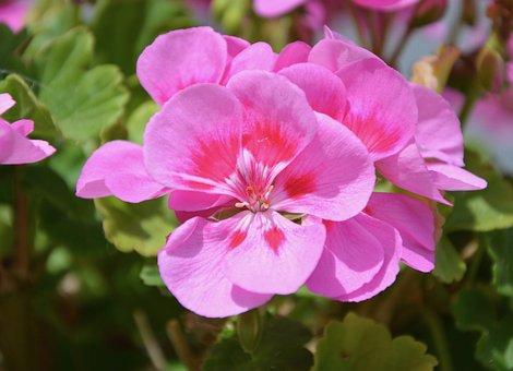 Flowers Geranium Pink, Jardiniere, Pot, Nature, Garden