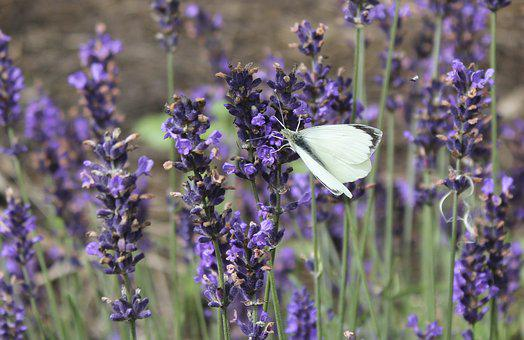 Lavender, Butterfly, Summer