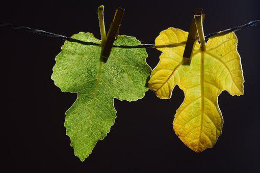 Leaves, Fig Leaves, Green, Yellow, Leash, Clothes Line