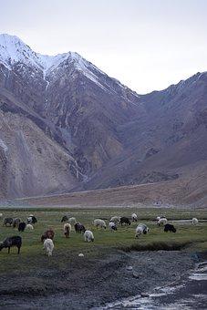Mountains, Sheep, Leh, Ladakh, India, Grazing, Snow