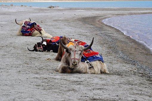 Yak, Pangong Lake, Pangong Tso, Lake, Animals, Ride