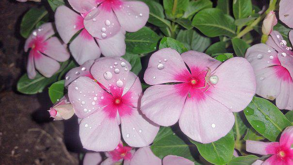 Flower, Spider, Pink, Petals, Leaves, Dew, Night, Bug