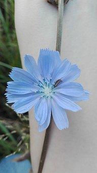 Chicory, Plants, Flowers, Nature, Flora