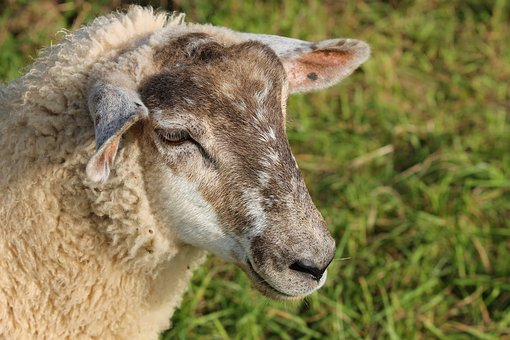 Sheep, Portrait, Sheepshead, Pet, Livestock, Wool