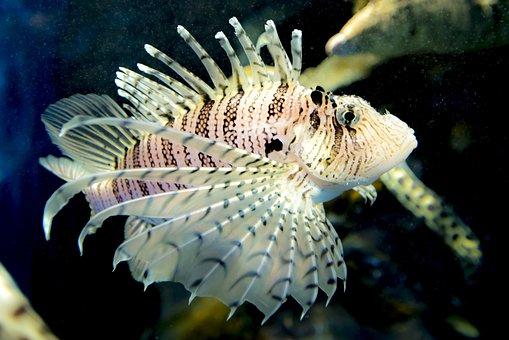 Aquarium, Coral Fish, Marine, Spiky, Fish, Lionfish
