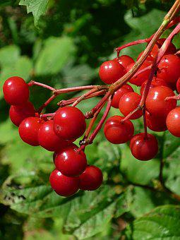 Fruit, Red, Wild Shrub, Park, Nature, Summer
