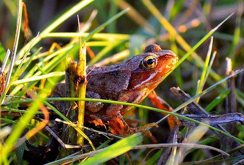 Frog, Tree Frog, Amphibians, Animal, Common Frog