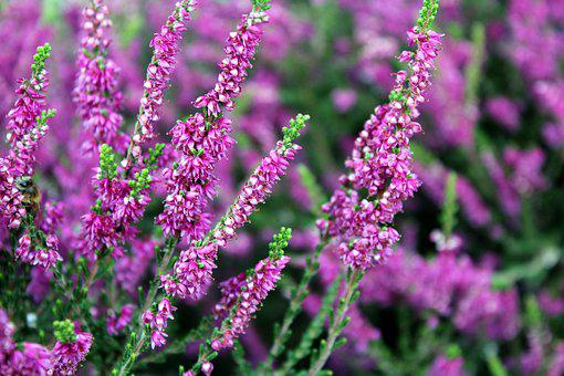 Heather, Plant, Nature, Violet, Flower, Violet Flowers