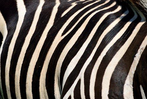 Zebra, Animal, Wildlife, Black, White, Stripes, Nature