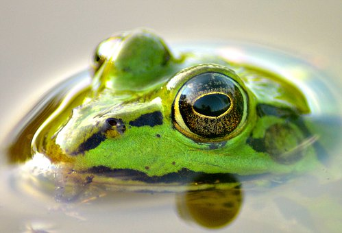 Frog, Pond, Animal, Green, Green Frog, Water, Nature