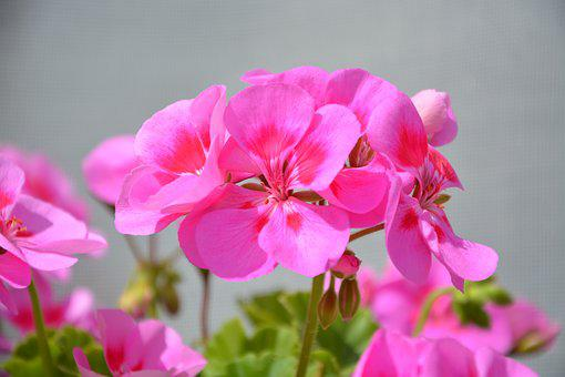 Flowers Geranium Pink, Balcony, Jardiniere, Summer
