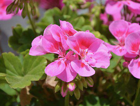 Flowers, Balcony, Roses, Geranium, Jardiniere, Pot