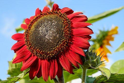 Sun Flower, Flower, Blossom, Bloom, Flowers, Red