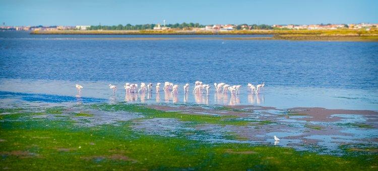 Flamingos, Baixa Da Banheira, Portugal
