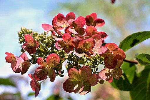 Hydrangea, Bush, Summer, Garden, Flowers, Nature