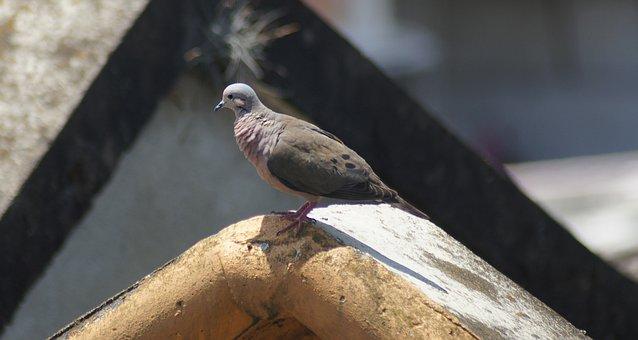Image, Ave, Bird, Tortola