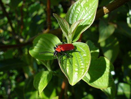 Beetle, Antenna, Krabbeltier