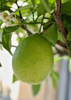 Lemon, Tree, Leaves, Fruit, Citrus Fruits, Lemon Tree
